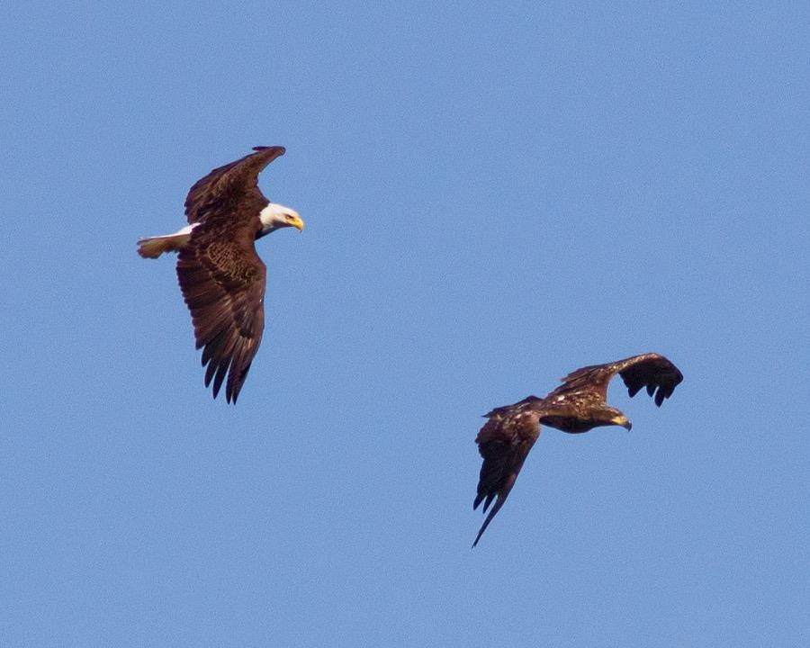 eagles_sm.jpg