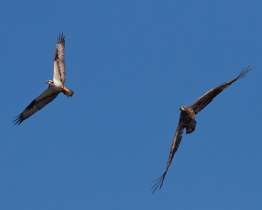immature_eagle_vs_osprey_sm.jpg
