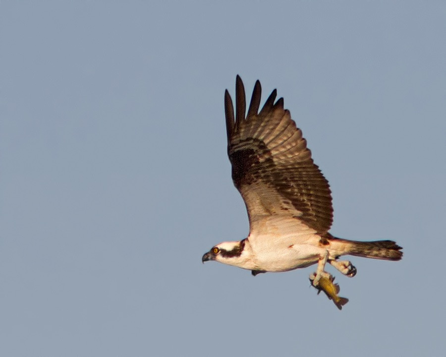 osprey_with_fish_5_sm.jpg