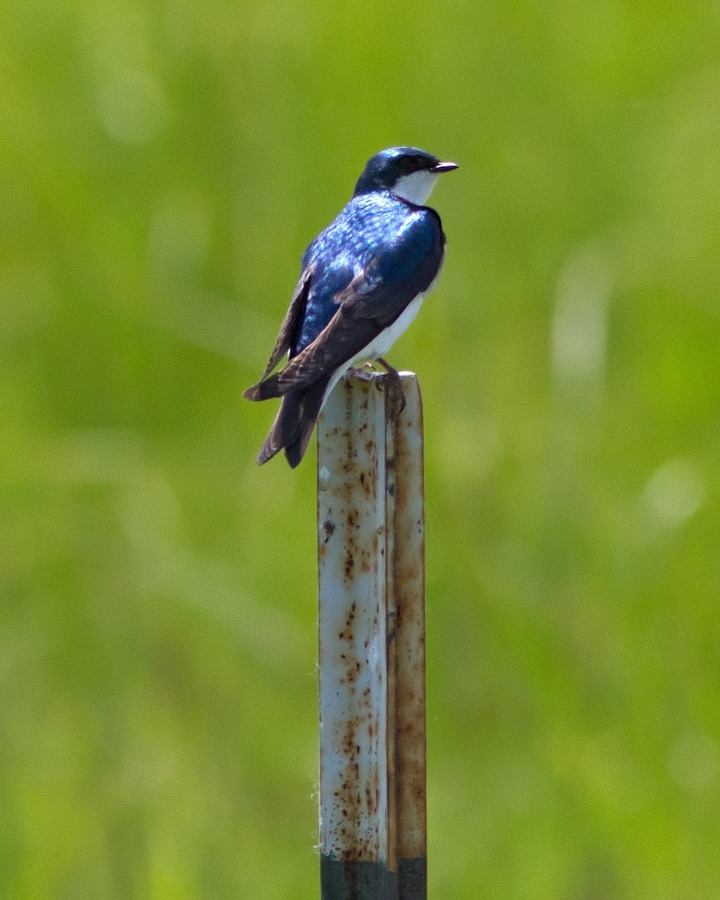 tree_swallow_sm.jpg