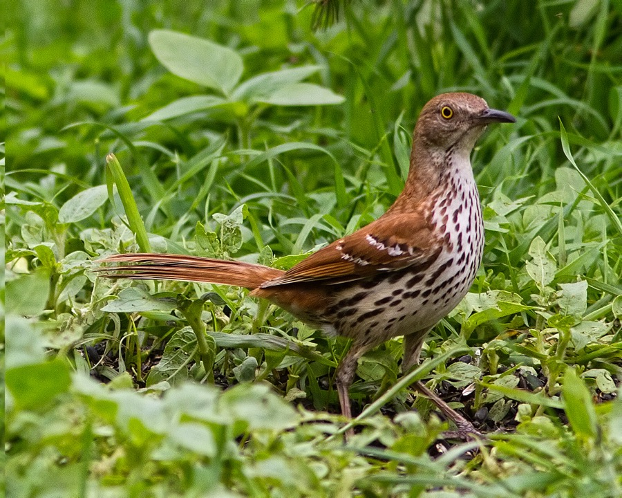 brown_thrasher_sm.jpg