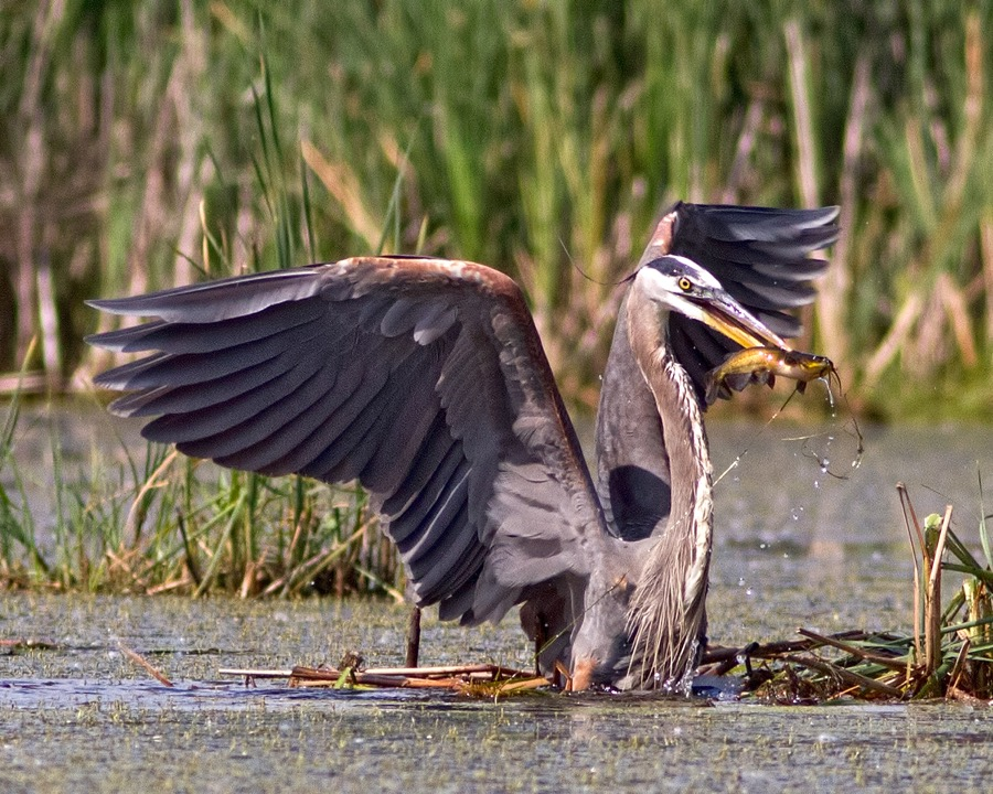 great_blue_heron_catfish_2_sm.jpg