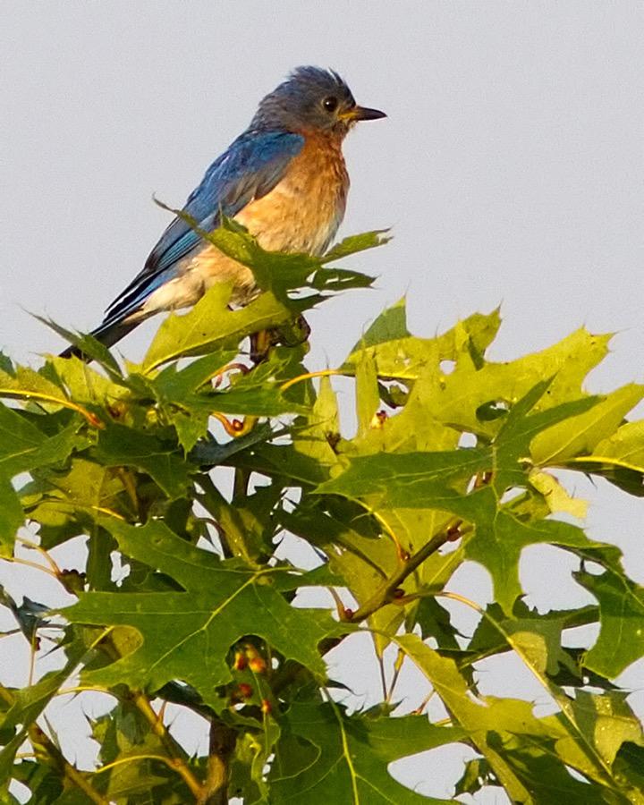 bluebird_sm.jpg