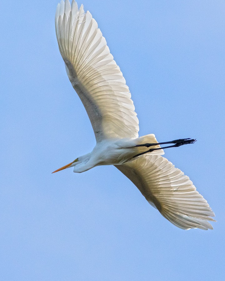 great_egret_in_flight_sm.jpg