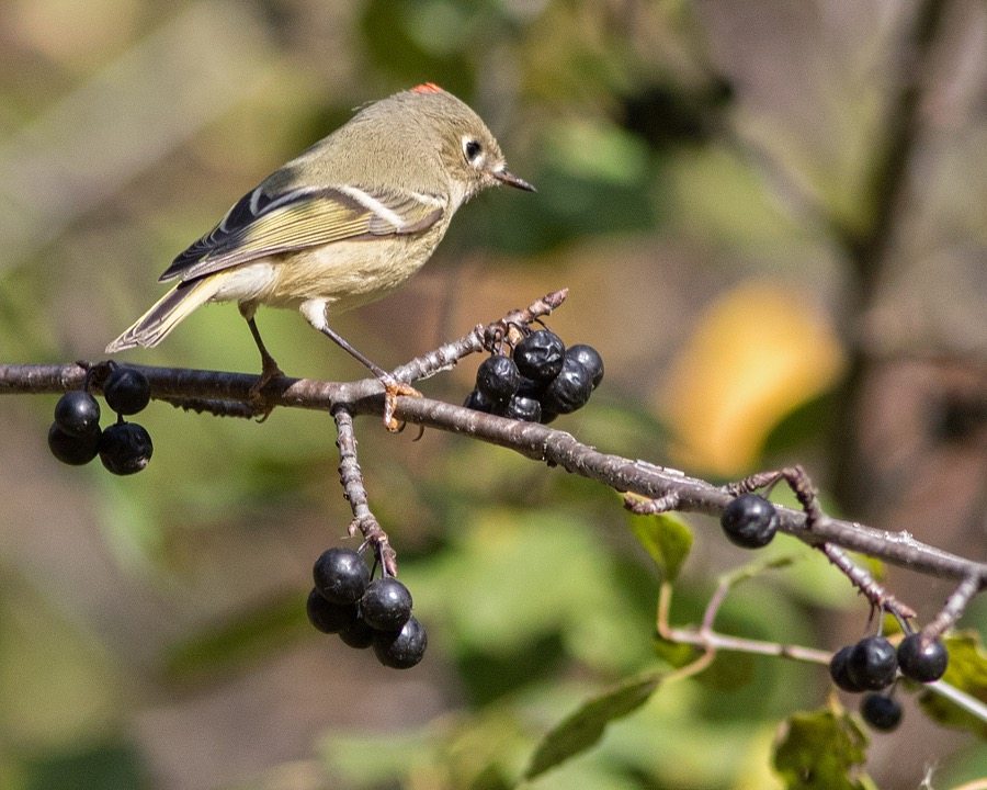 ruby_crowned_kinglet_sm.jpg