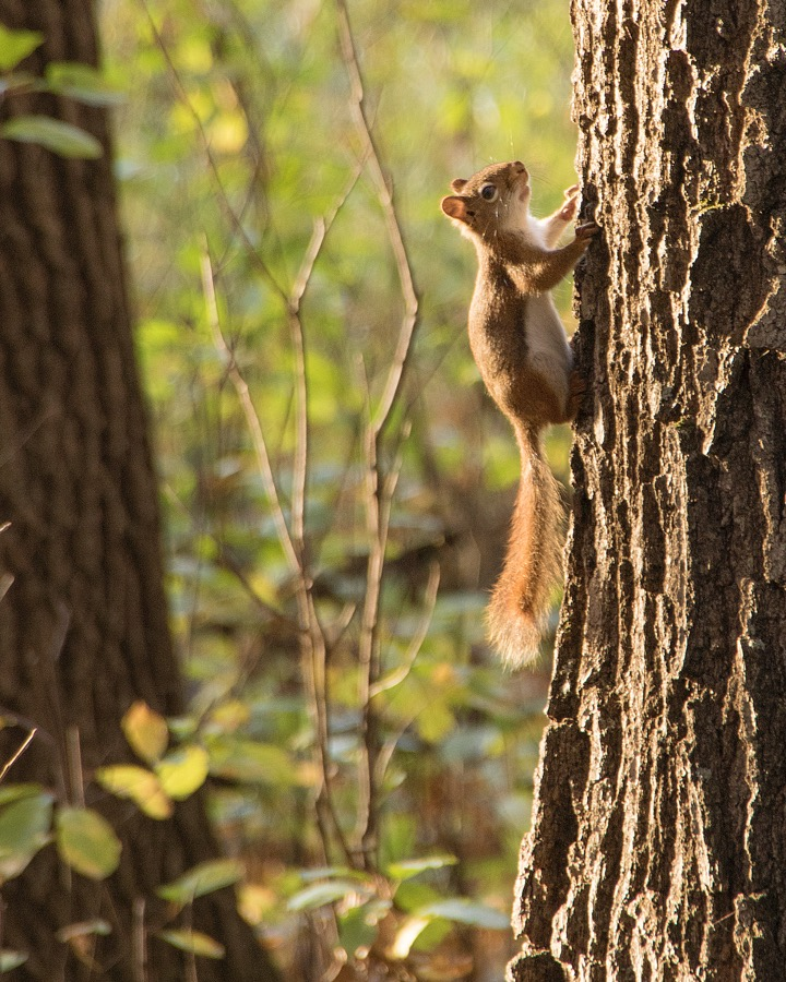 red_squirrel_sm.jpg