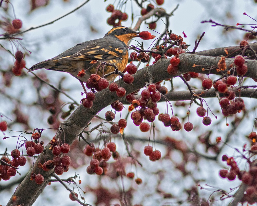 varied_thrush_berry_sm.jpg