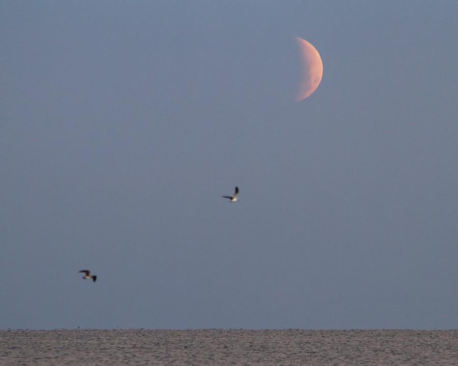 eclipse_gulls_sm.jpg