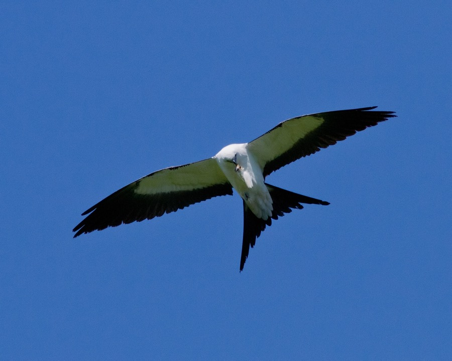 Swallowtail Kite_sm.jpg