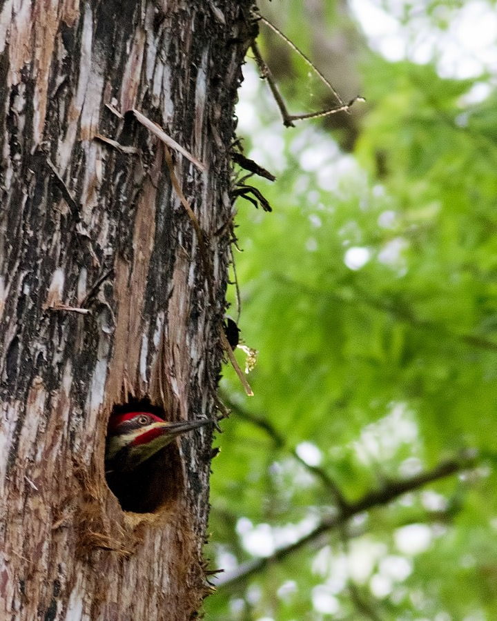 peeking_pileated_sm.jpg