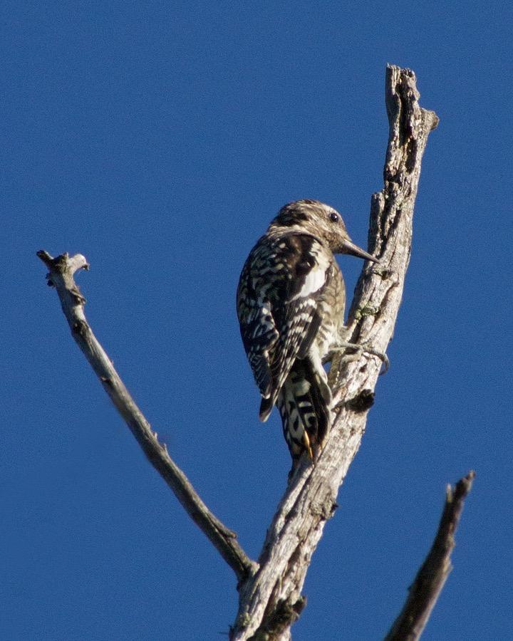 woodpecker_sm.jpg