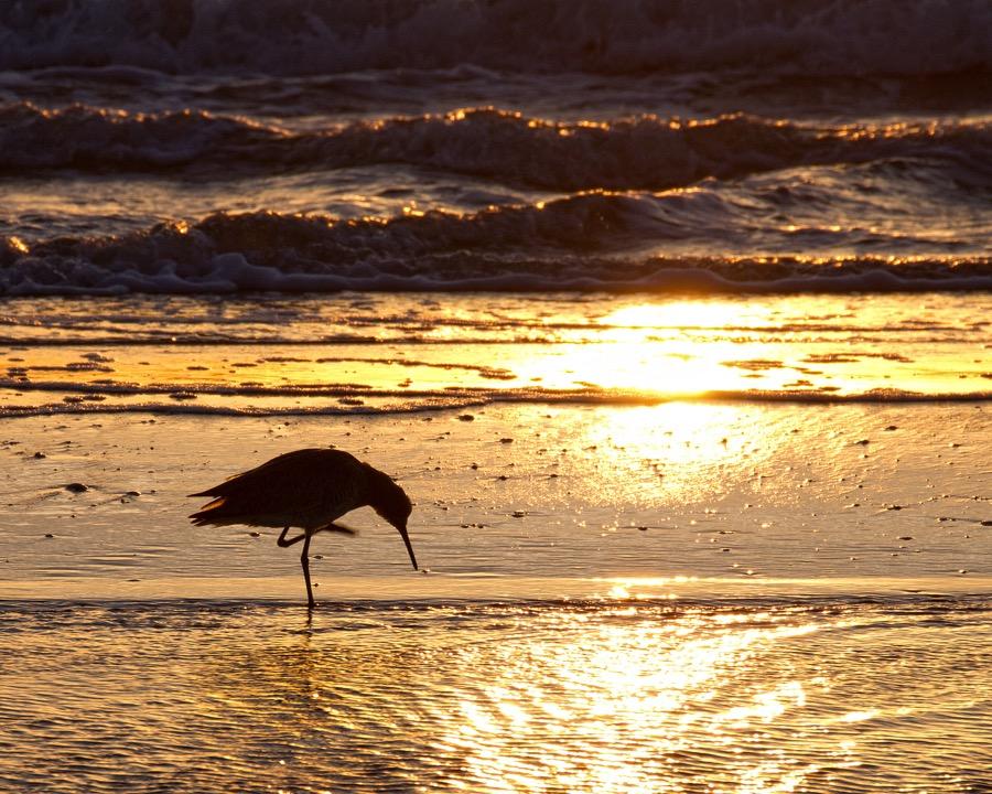 sunset_sandpiper_sm.jpg