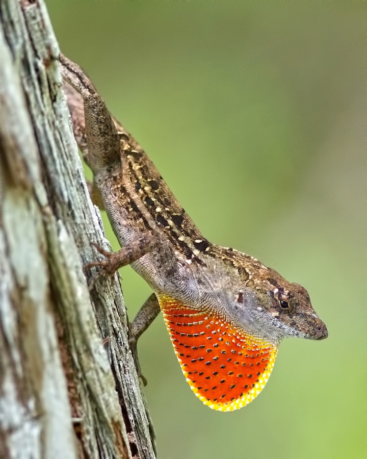 brown_anole_neck_sm.jpg