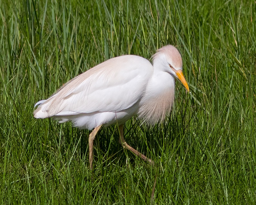 cattle_egret_breeding_plumage_sm.jpg