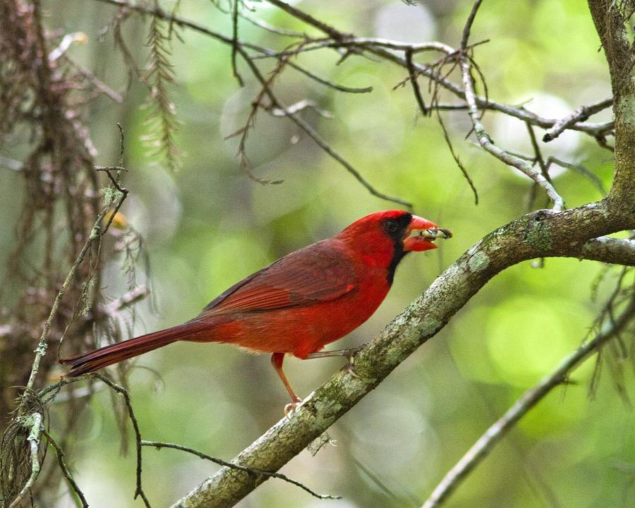 cardinal_2_sm.jpg