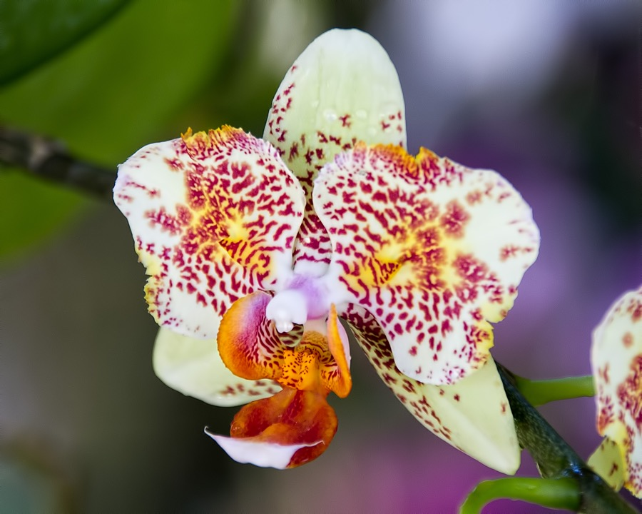 multicolored orchid_sm.jpg