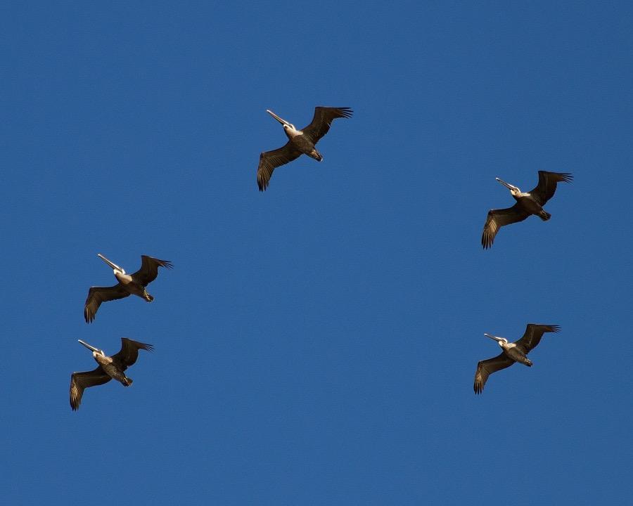 pelicans_sm.jpg