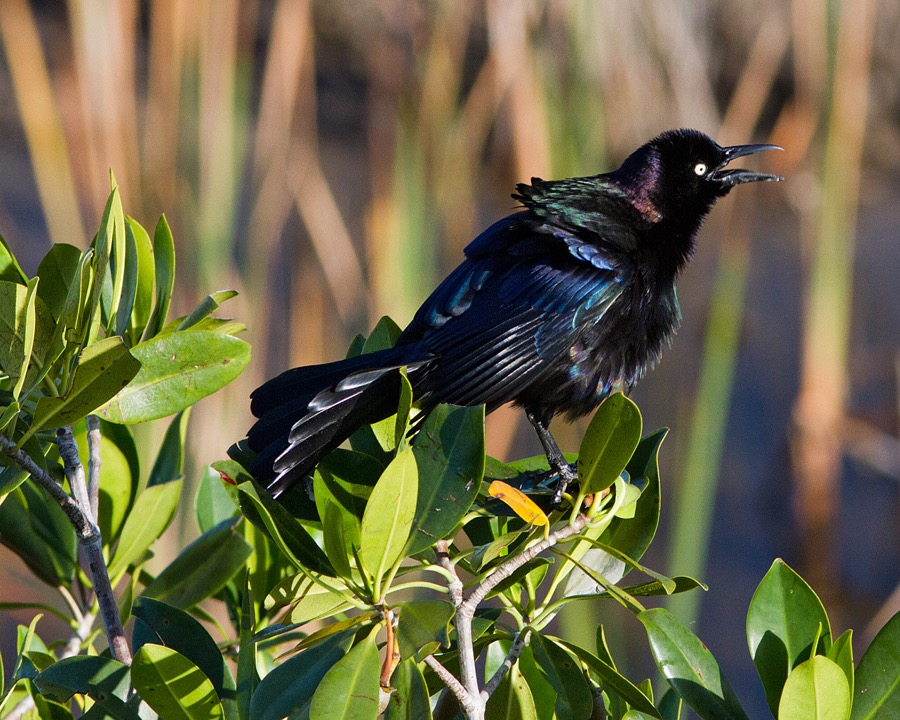 boat_tailed_grackle_sm.jpg
