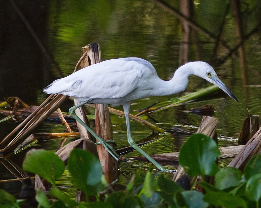 immature_little_blue_heron_2_sm.jpg