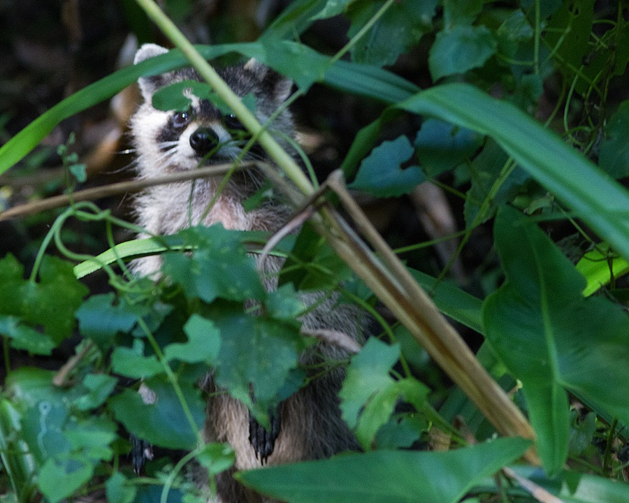 spying_raccoon_sm.jpg