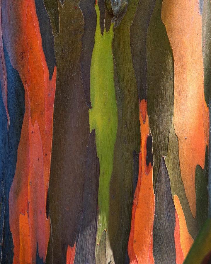 rainbow_eucalyptus_3_sm.jpg