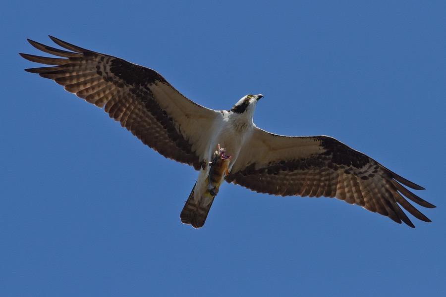 osprey_fish_cls_sm.jpg
