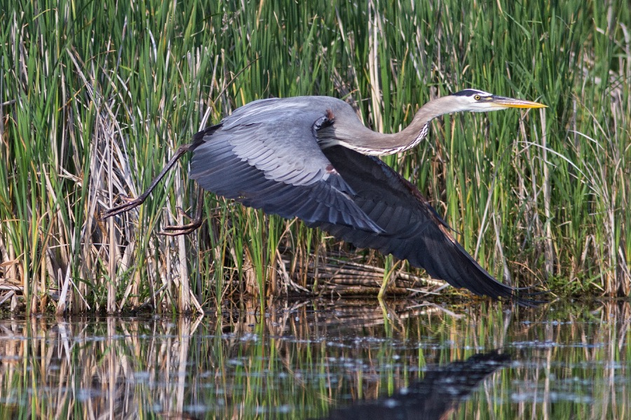 blue_heron_in_flight_sm.jpg