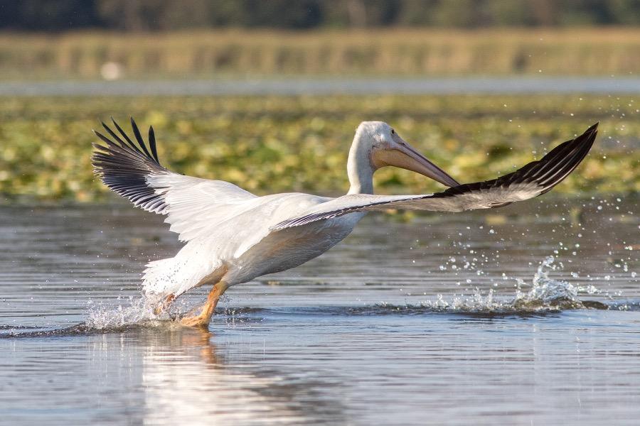 white_pelican_takeoff_sm.jpg