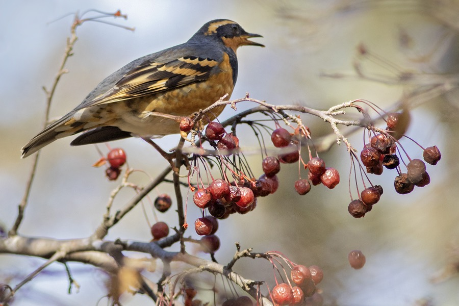 varied_thrush_crabapple_drop_sm.jpg