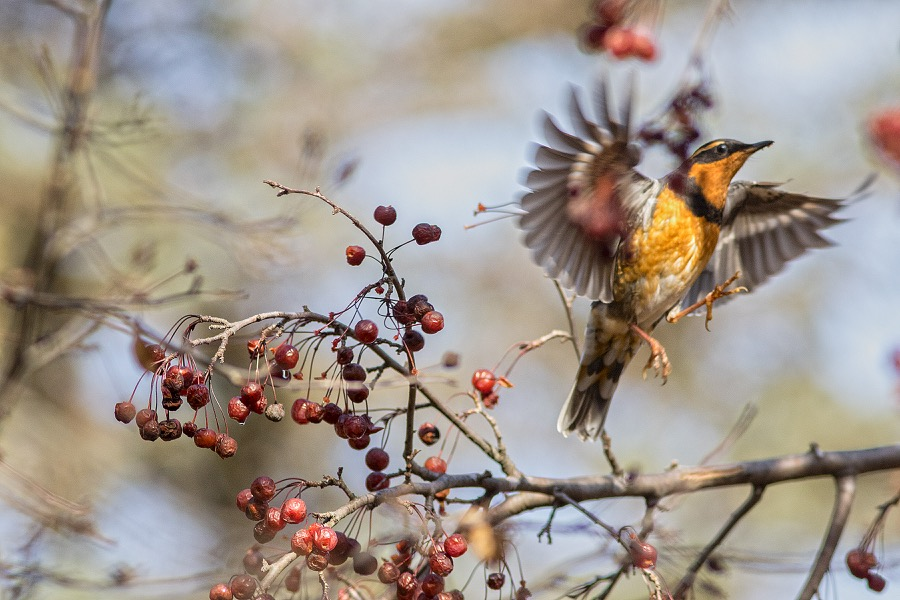 varied_thrush_in_flight_sm.jpg