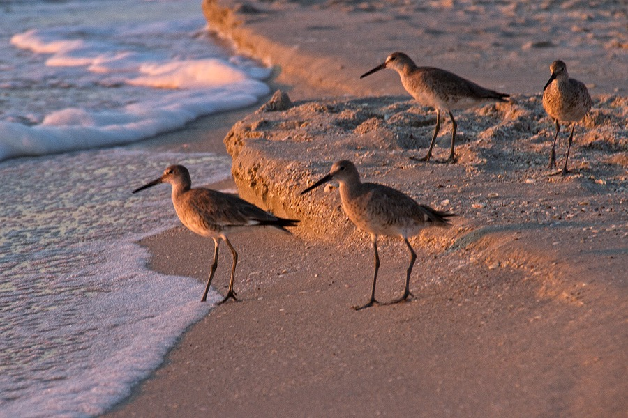 sandpipers_at_sunset_sm.jpg
