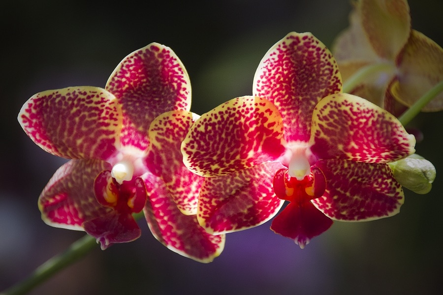 red_speckled_orchids_sm.jpg