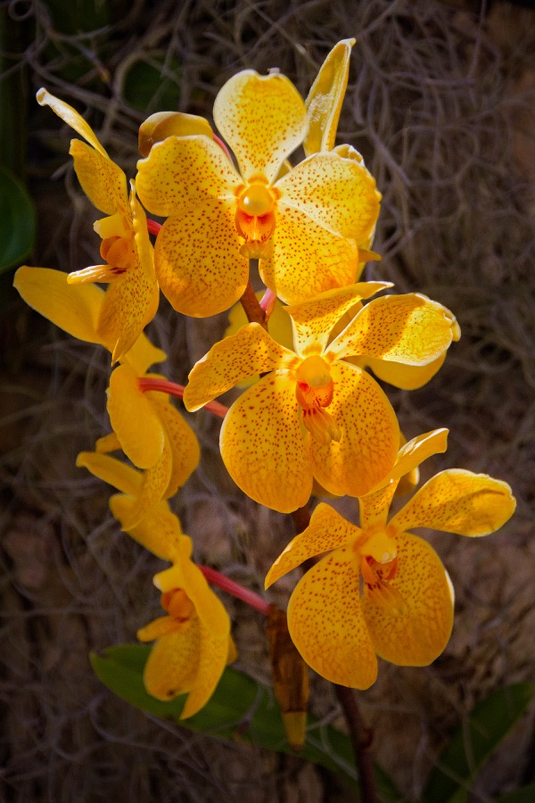 three_yellow_orchids_sm.jpg