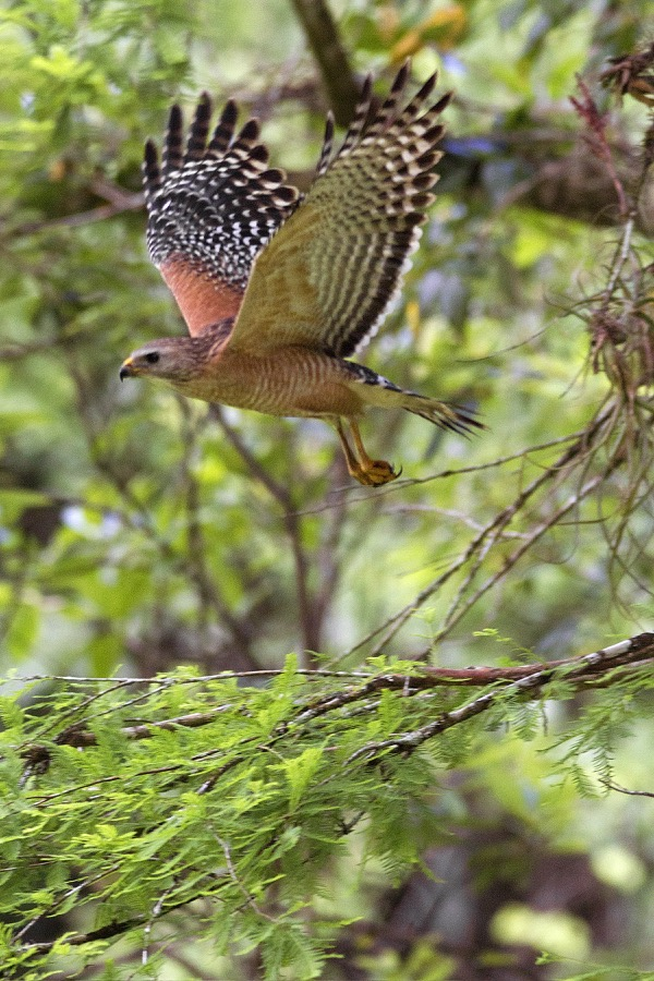 red_shouldered_hawk_in_flight_sm.jpg