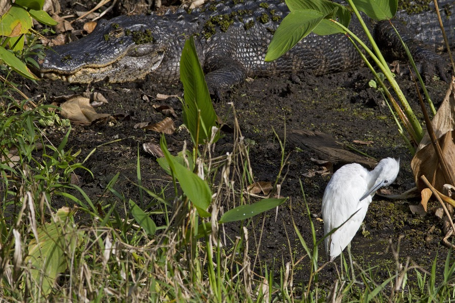 gator&immature_little_blue_heron_sm.jpg