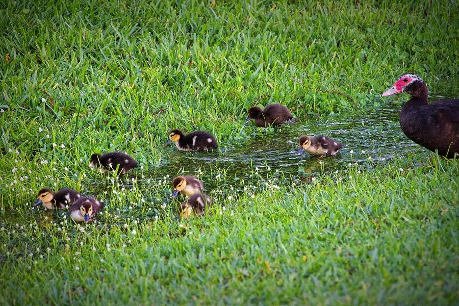 muscovy_duck&ducklings2_sm.jpg
