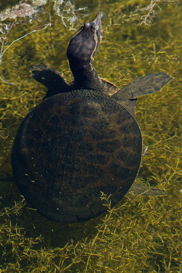 florida_softshell_turtle_sm.jpg