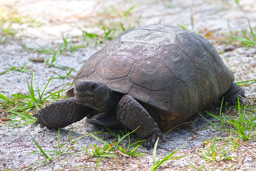 gopher_tortoise_2_sm.jpg