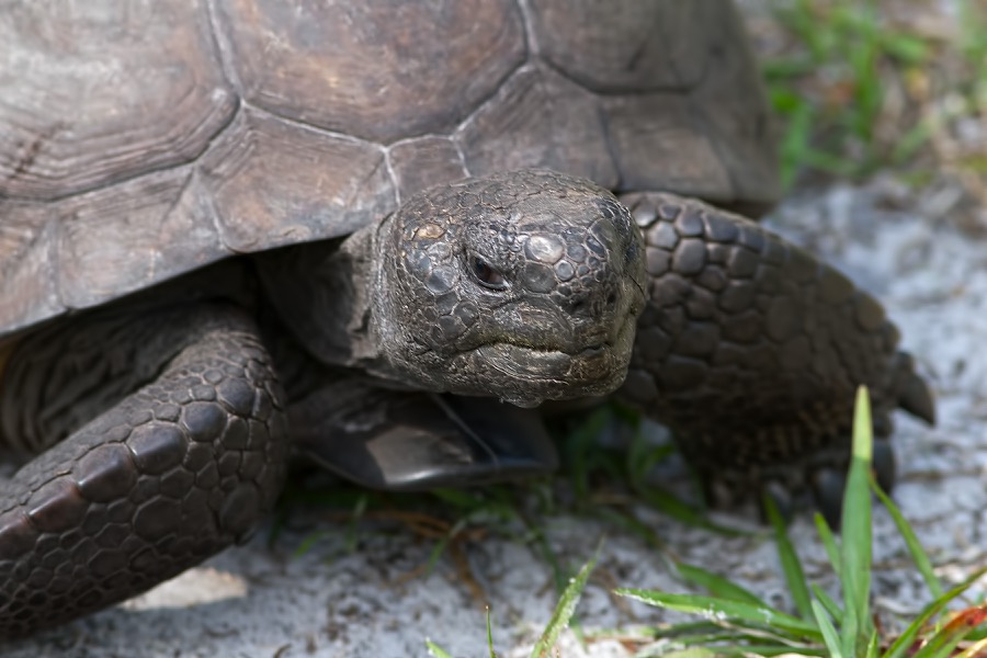 gopher_tortoise_sm.jpg