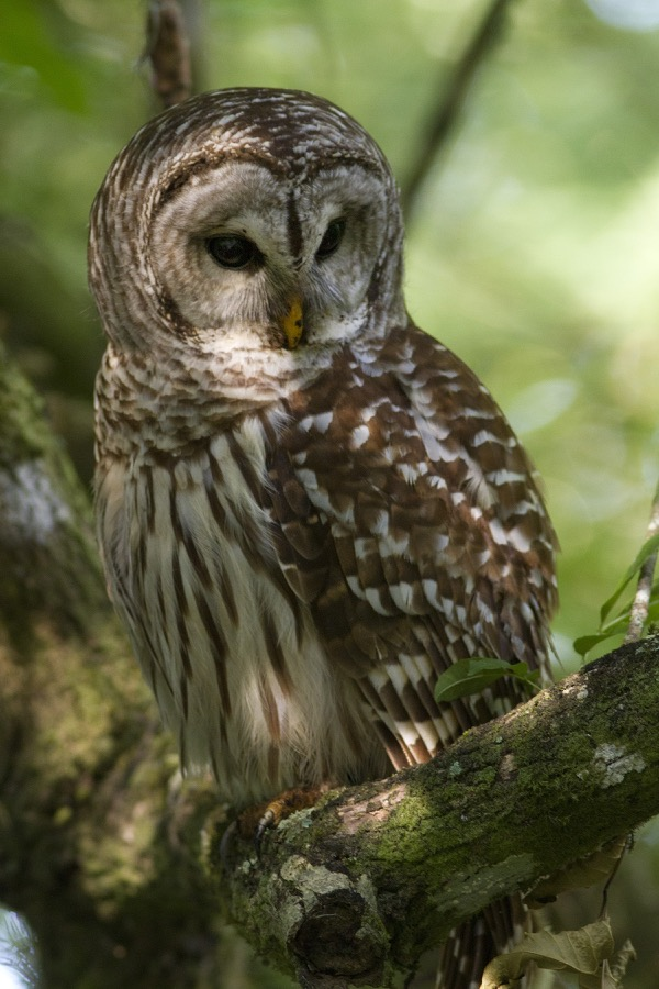 Barred_Owl_cls_sm.jpg