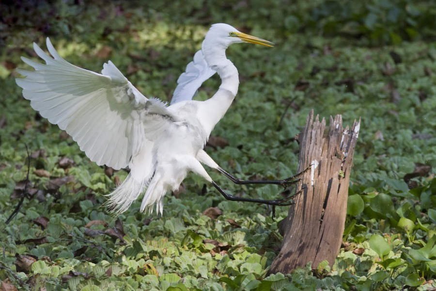 great_egret_landing_sm.jpg