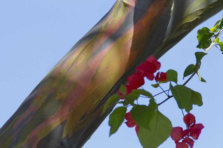 rainbow_eucalyptus_1_sm.jpg