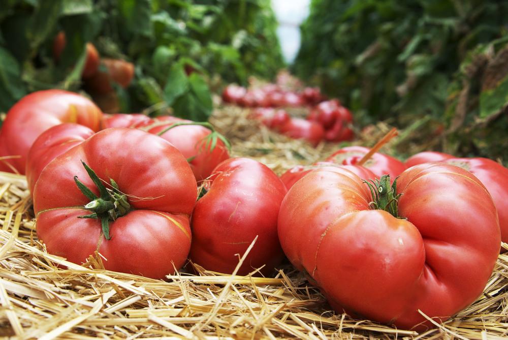 tomato_nativehilll.jpg