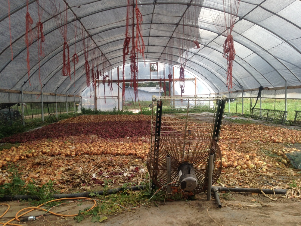 Curing onions for the winter! (Photo by Claire Burnett)