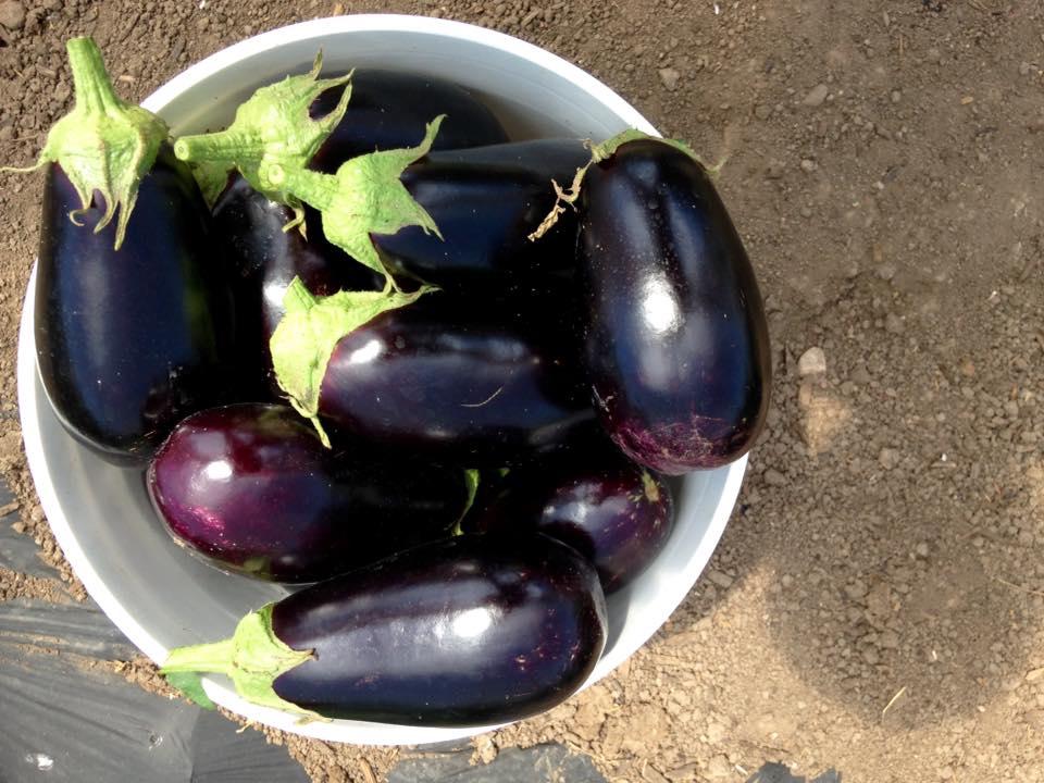 native_hill_eggplant.jpg