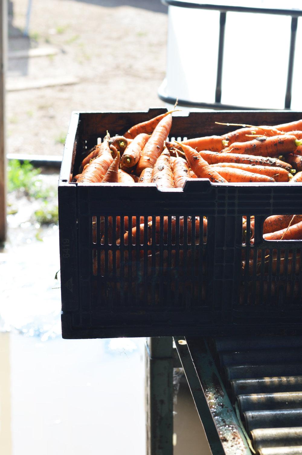 Carrots_native_hill_farm.jpg