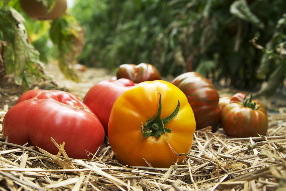 Heirloom tomatoes are making their first appearance of the summer this week at Native hill farm!