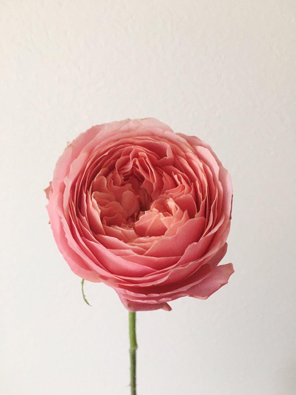 ROMANTIC ANTIQUE ROSE