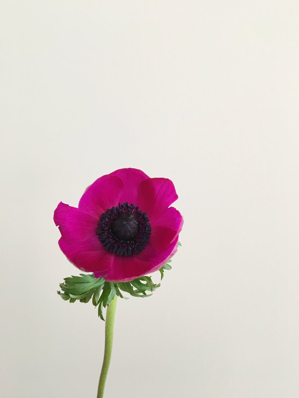 HOT PINK ANEMONE