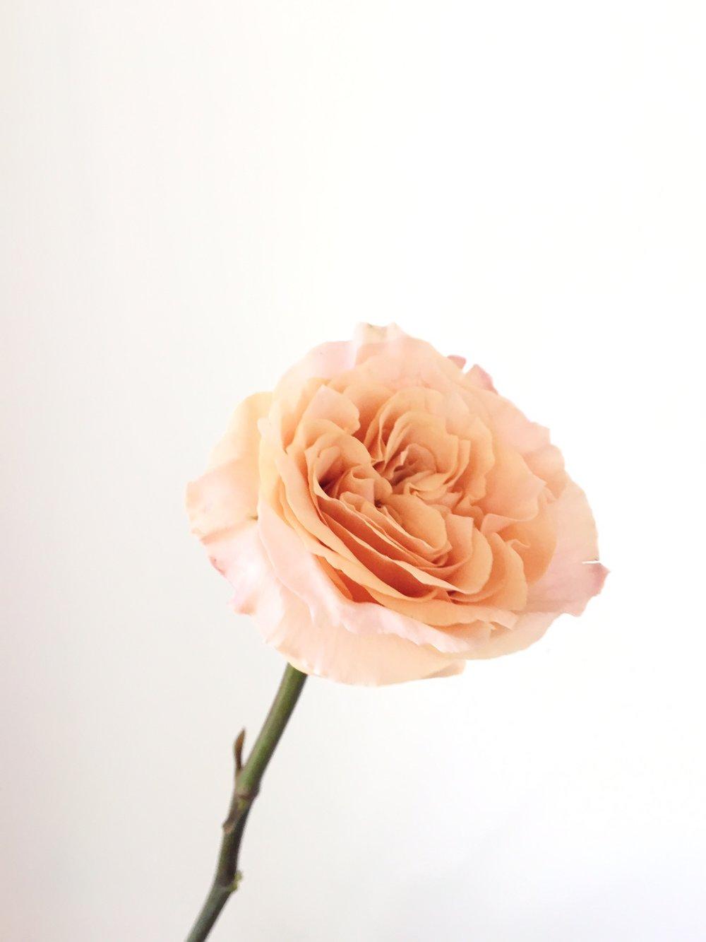SHIMMER ROSE